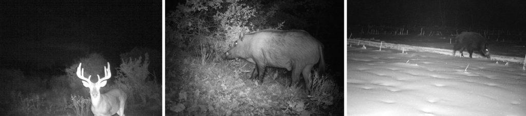 capture réalisée avec un piège photo pour la chasse